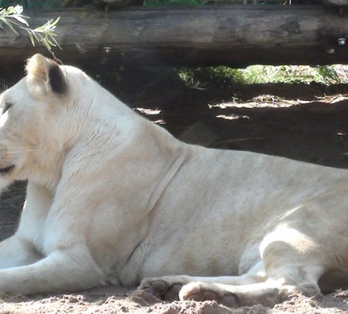 lion-blanc-zoo-amneville