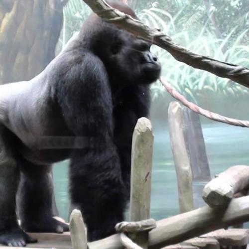 zoo-amneville-gorille